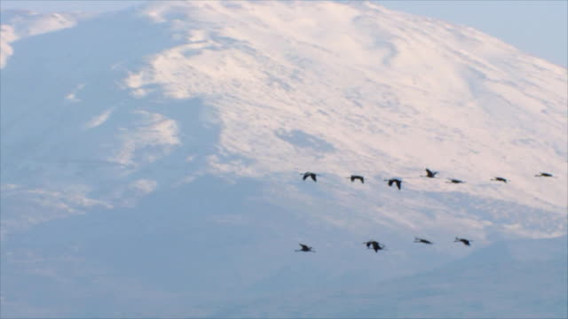 ws pan slo mo view of european cranes flying with mt hermon in background / hula valley, upper galilee, isarel - eurasischer kranich stock-videos und b-roll-filmmaterial