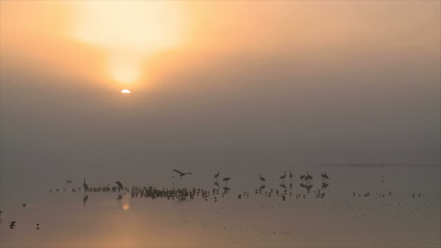 ws view of european cranes standing in water in early morning light with sunrise / hula valley, galilee, israel - flock of birds stock videos & royalty-free footage