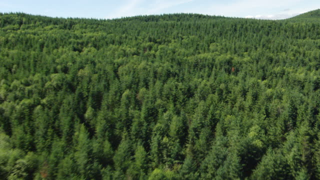ws aerial view of evergreen douglas fir trees / washington, united states - douglas fir stock videos and b-roll footage