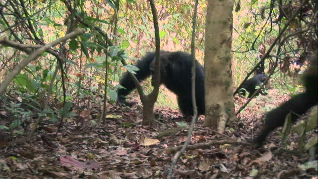 view of excited male chimpanzees in manyara national park (famous spot for study about chimpanzees) in tanzania - chimpanzee stock videos & royalty-free footage