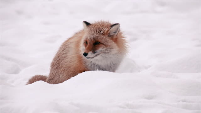 View of Ezo red fox at snow-covered ground