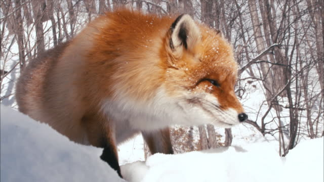 view of ezo red fox foraging at snow-covered forest - foraging stock videos and b-roll footage