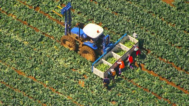 WS AERIAL ZI ZO View of farmer loading broccoli in crates on trailer / Werribee, Victoria, Australia