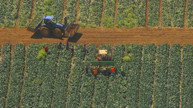 ws aerial zi view of farmer loading broccoli in crates on trailer / werribee, victoria, australia - ブロッコリー点の映像素材/bロール