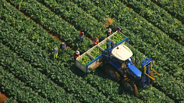 WS AERIAL ZO View of farmer loading broccoli in crates on trailer / Werribee, Victoria, Australia