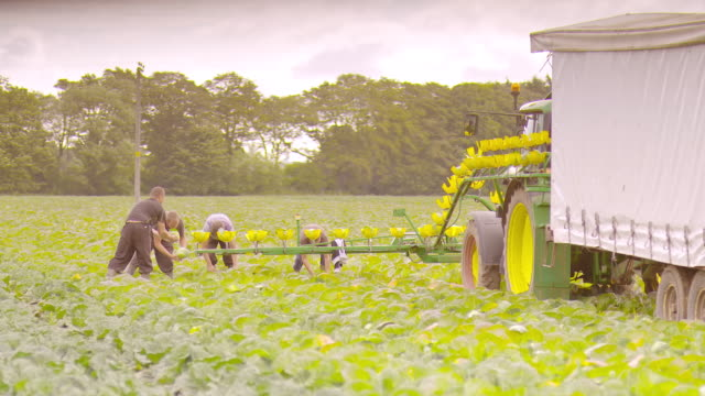 vídeos de stock e filmes b-roll de ms slo mo view of farmers collecting heads of lettuce on conveyor belt / united kingdom - alface
