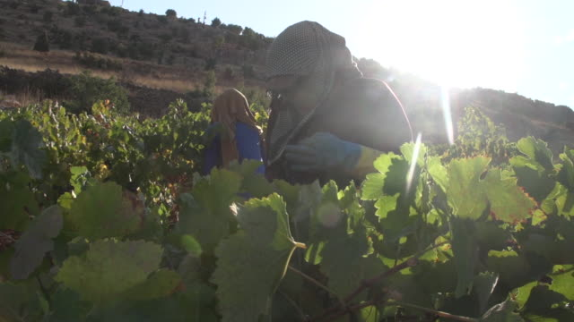 view of farmers harvesting a vineyard in the beqaa valley. - viniculture stock videos & royalty-free footage