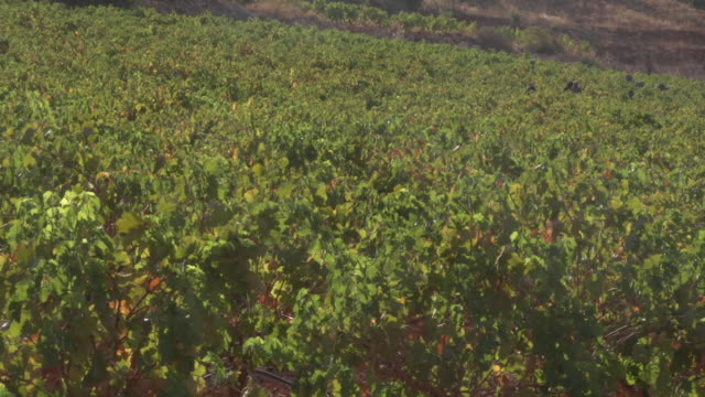 view of farmers, hidden by the vines, harvesting a vineyard in the beqaa valley. - viniculture stock videos & royalty-free footage