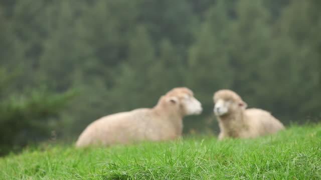 view of feeding sheep - aufblenden stock-videos und b-roll-filmmaterial