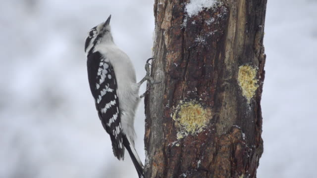 stockvideo's en b-roll-footage met ms view of female downy woodpecker (picoides pubescens) pecks at homemade suet in hole in wooden feeder as falling snow blows by / valparaiso, indiana, united states - pikken