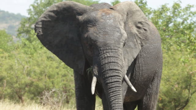 MS TS View of female elephant crosses road  / Kruger National Park, Limpopo, South Africa