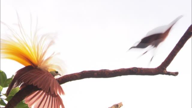 view of female kingbird finding the male bird in papua new guinea island - 動物の翼点の映像素材/bロール