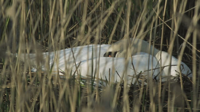 ms r/f view of female swan sitting on nest / chichester harbour, surrey, uk - swan stock videos & royalty-free footage