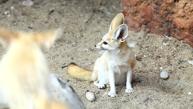 view of fennec fox looking around - fox stock videos and b-roll footage