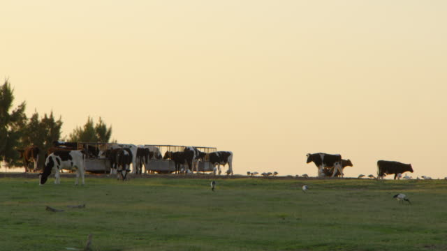 WS PAN View of field with cows by feeding trough along with sacred ibis birds / Franschhoek, Western Cape, South Africa