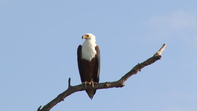 WS View of Fish eagle in tree / Kruger National Park, Mpumalanga, South Africa