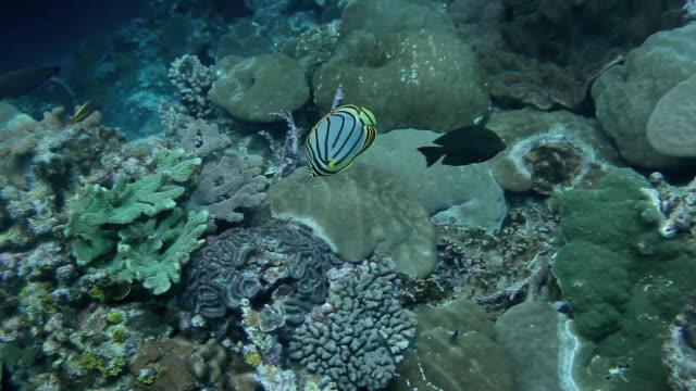 MS View of Fish Swimming on Reef in Indian Ocean / Christmas Island, Australia