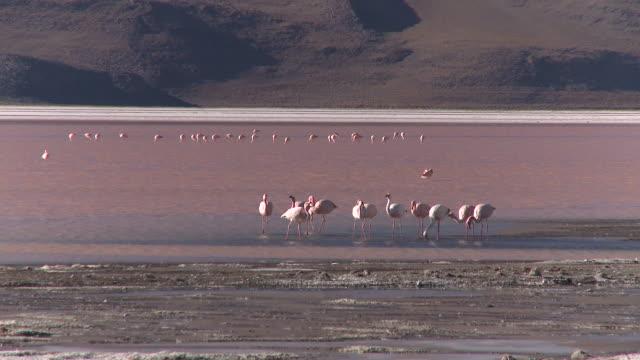 ws view of flamingos in salt lake of south bolivian desert / uyuni , bolivia - flamingo stock-videos und b-roll-filmmaterial