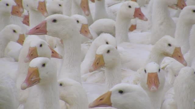 cu view of flock of geese / serrig, rhineland-palatinate, germany - goose stock videos & royalty-free footage