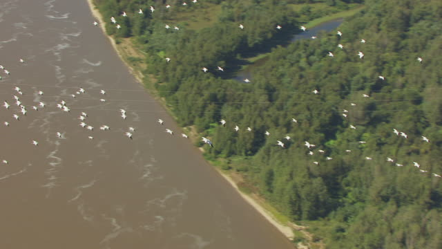 WS AERIAL TS View of flock of pelicans flying over Mississippi River and over farmland / Missouri, United States