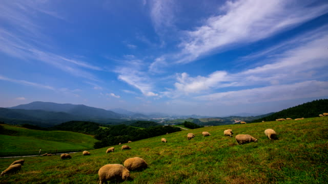 view of flock of sheep in daegwallyeong yangtte pasture (sheep farm) - pyeongchang stock videos and b-roll footage