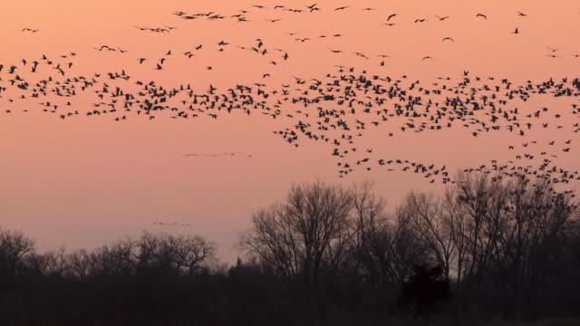 WS SLO MO View of flocks of Sandhill Cranes, Grus canadensis flying over marshland winter trees / Kearney, Nebraska, United States