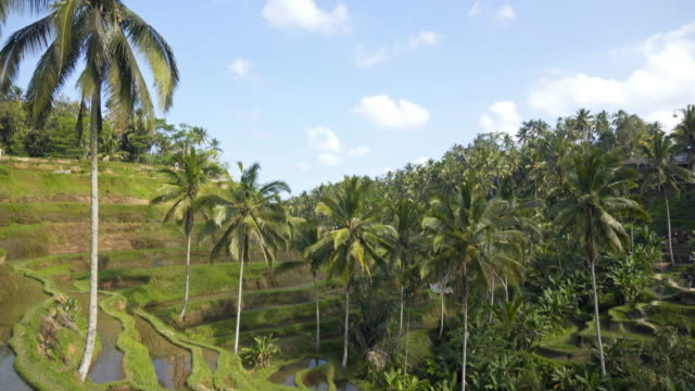view of flooded rice terrace fields and palm trees - ubud district stock videos & royalty-free footage