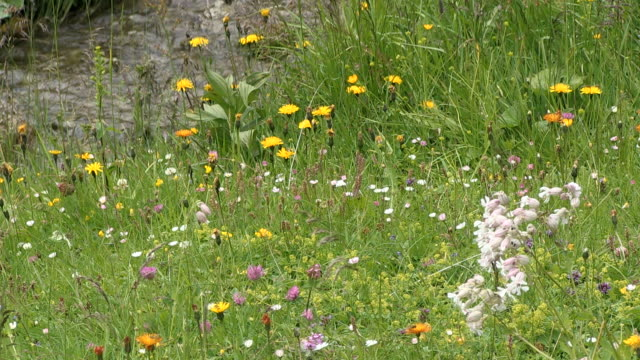 ws view of flowers at schlappold alm / oberstdorf, bavaria, germany  - alm stock-videos und b-roll-filmmaterial