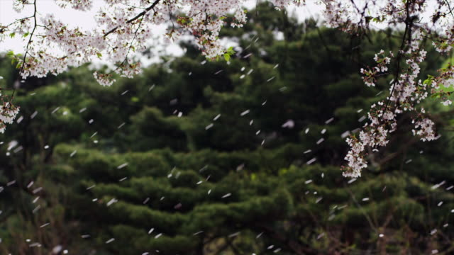 view of fluttering petal of cherry blossom at unmunsan mountain - 舞う点の映像素材/bロール