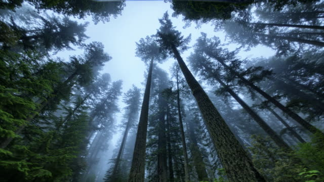ws t/l pan view of fog moving through redwood forest / redwood national park, california, united states - tree stock videos & royalty-free footage