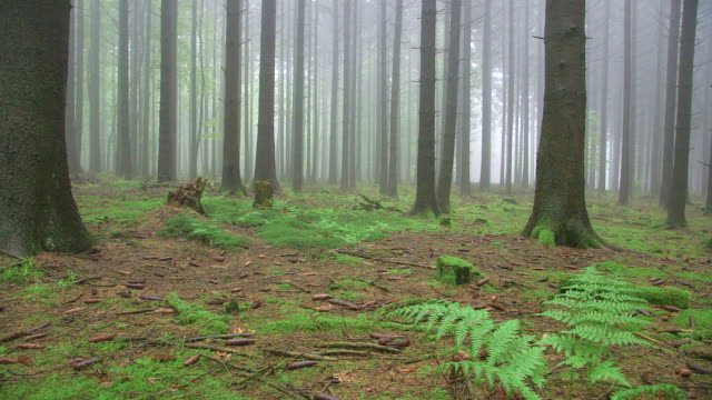 vídeos de stock, filmes e b-roll de ws pan view of foggy fir forest with mossy ground / serrig, rhineland palatinate, germany - renânia palatinado