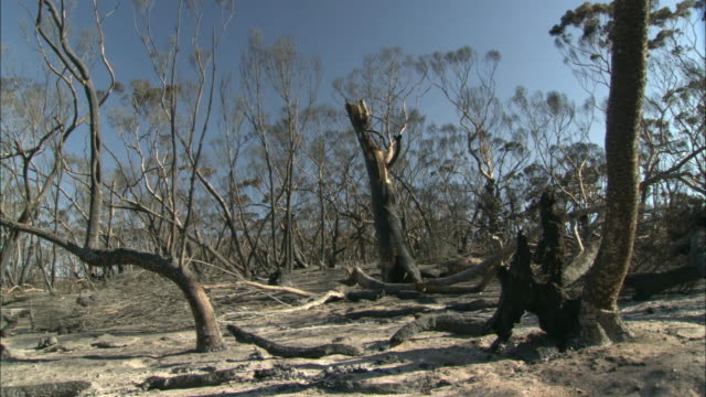 ws pan  view of forest after fire / eyre peninsula, south australia, australia  - bush stock videos & royalty-free footage