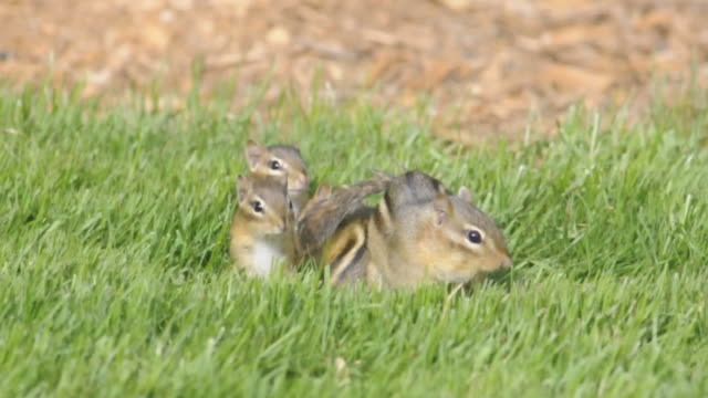 ws view of four baby chipmunks (tamias striatus) and their mother look around in grass directly above their burrow opening / valparaiso, indiana, united states - streifenhörnchen stock-videos und b-roll-filmmaterial