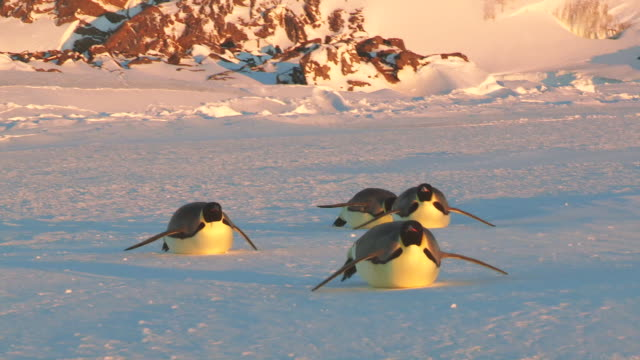 """""""ws ts la view of four emperor penguin tobogganing on snow at evening / dumont d'urville station, adelie land, antarctica"""" - penguin stock videos & royalty-free footage"""