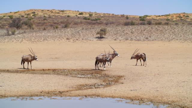 stockvideo's en b-roll-footage met ws view of gemsboks and kudu at waterhole / etosha national park, namibia - vier dieren