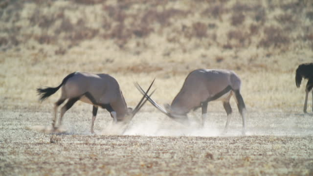 WS View of Gemsboks fighting in savannah / Etosha National Park, Namibia