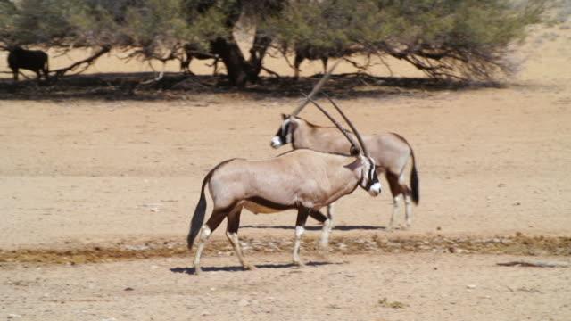 vídeos de stock, filmes e b-roll de ws pan view of gemsboks in dry land / etosha national park, namibia - grupo pequeno de animais