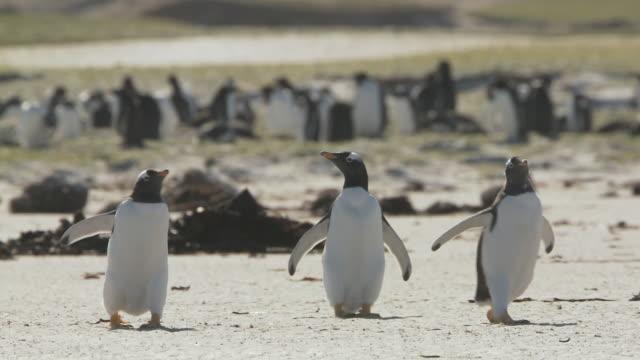 WS TS View of Gentoo Penguin Pygoscelis papua running on beach / Volunteer Point, Falkland Islands