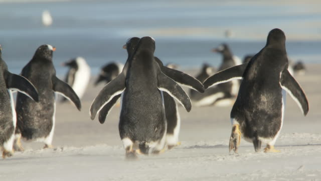 ws pan view of gentoo penguin pygoscelis papua running on beach / volunteer point, falkland islands - gentoo penguin stock videos and b-roll footage