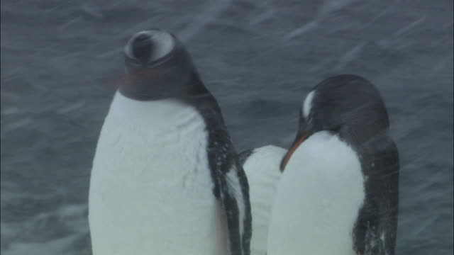 stockvideo's en b-roll-footage met ms view of gentoo penguins (pygoscelis papua) preening in heavy snow / brown bluff, antarctic peninsula, antarctica - dierenverzorging