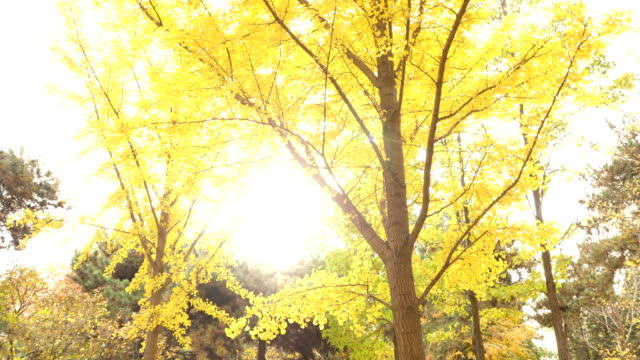 stockvideo's en b-roll-footage met a view of gingko tree in famous tsinghua university in beijing - infaden