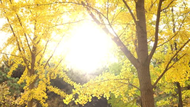 a view of gingko tree in famous tsinghua university in beijing - intoning bildbanksvideor och videomaterial från bakom kulisserna