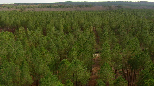 ws aerial view of ginkgo plantation (probably not ginkgo trees) / south carolina, united states - south carolina stock videos & royalty-free footage