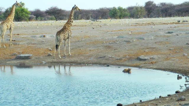 WS View of Giraffe and Black backed jackal in savannah / Etosha National Park, Namibia