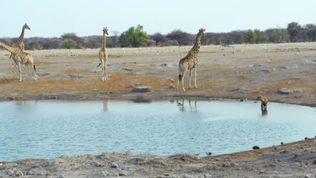 vidéos et rushes de ws view of giraffe and black backed jackal in savannah / etosha national park, namibia - plan d'eau
