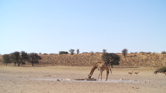 WS View of Giraffe drinking water from waterhole in savannah with Springboks in back side / Etosha National Park, Namibia