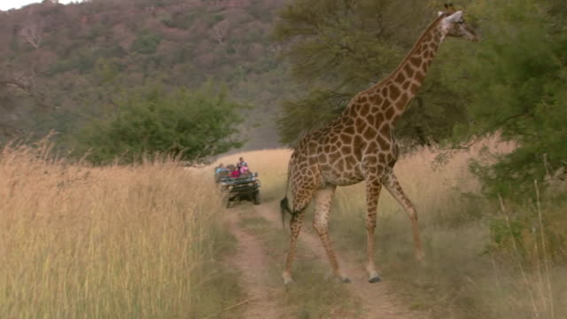 WS View of Giraffe moving off of dirt road, game drive vehicle in back side Entabeni Game Reserve / Limpopo, South Africa