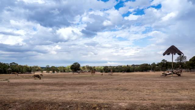 view of giraffes eating in dubbo zoo safari (zoofari lodge) in new south wales, australia - サファリ動物点の映像素材/bロール