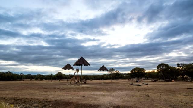 view of giraffes in dubbo zoo safari (zoofari lodge) in new south wales, australia at sunrise - サファリ動物点の映像素材/bロール