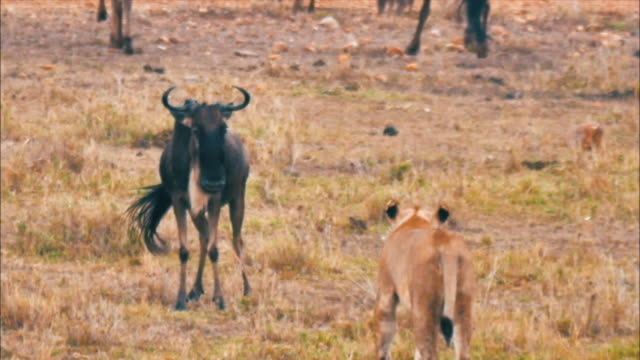 view of gnus inversely attacking a lion at masai mara national reserve - wildebeest stock videos & royalty-free footage